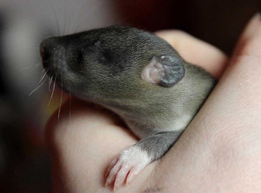 Winnifred Shubs Ratten Tag 12